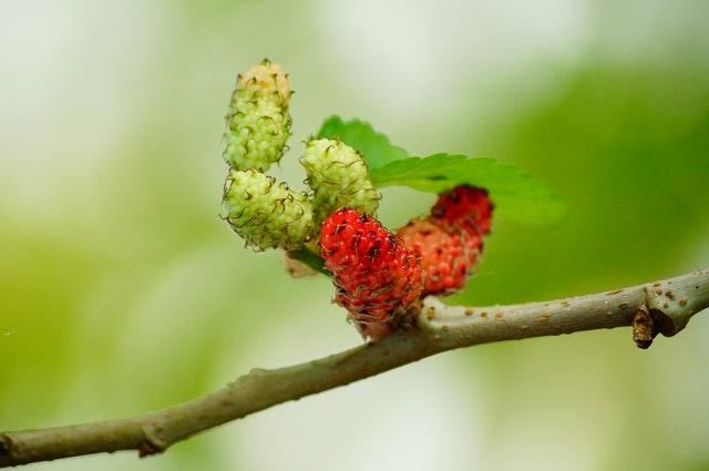 Nezralé moruše na větvi stromu