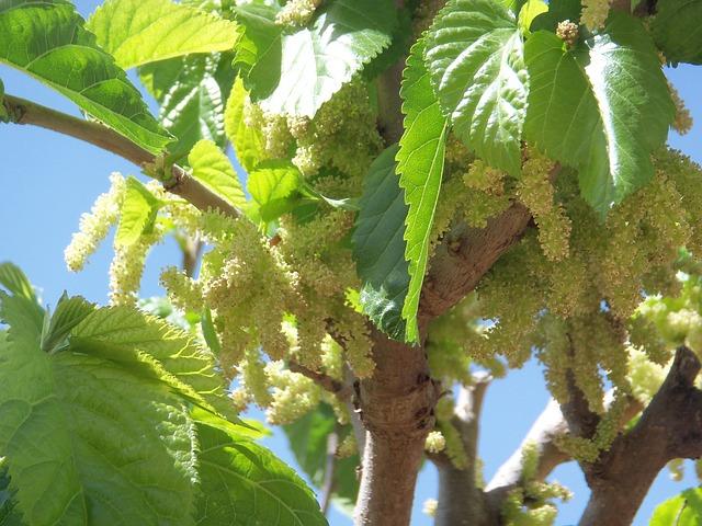 Květy moruší na stromě